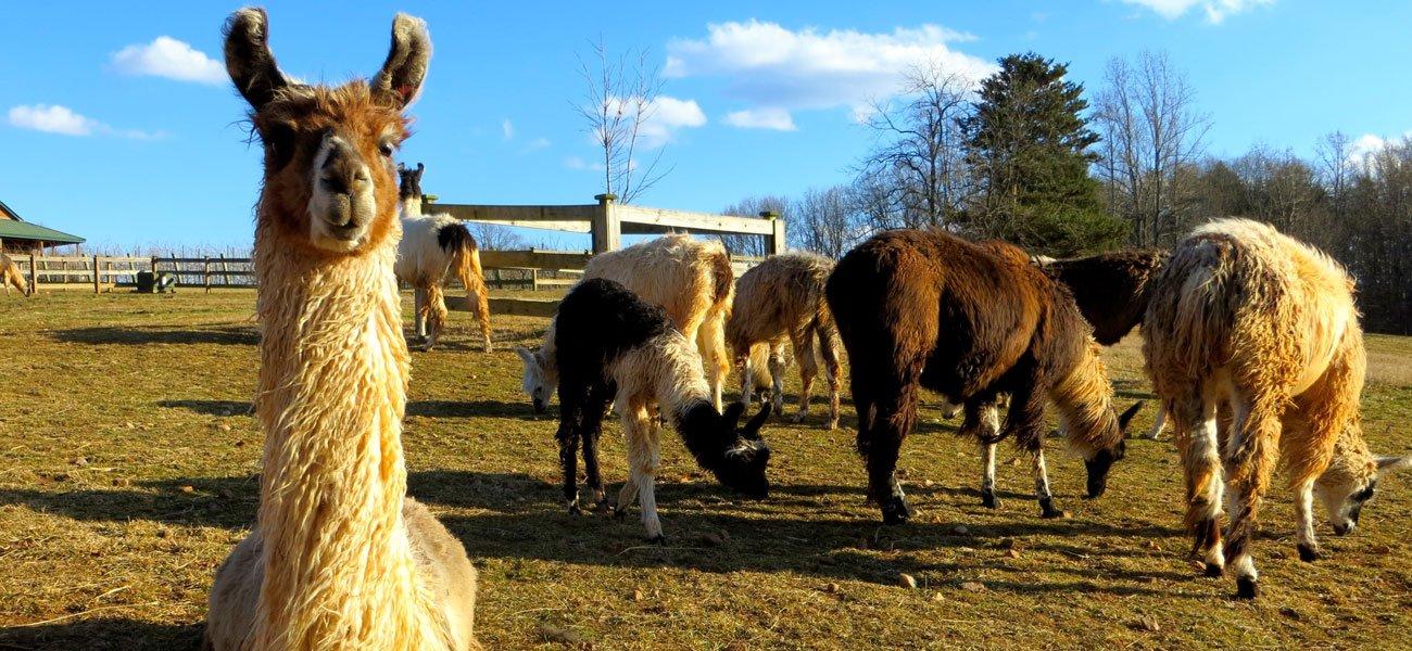 One of our five favorite North Carolina wineries Divine-Llama
