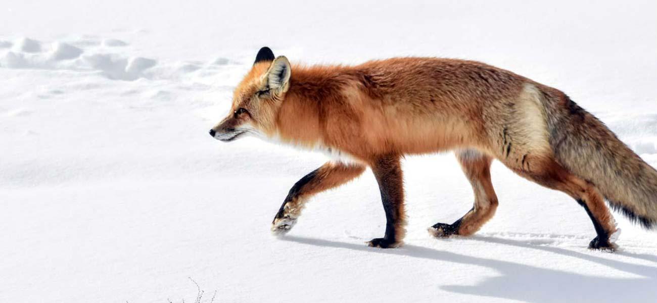 Lamar Valley Yellowstone wildlife fox