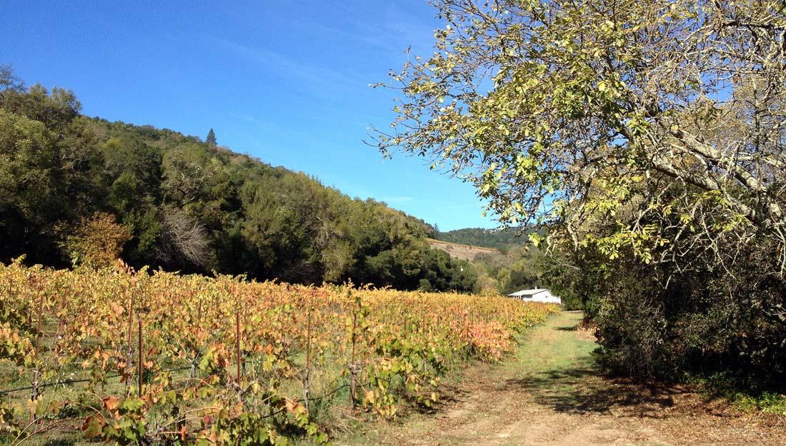 Walking vineyard tour Ravenswood Sonoma