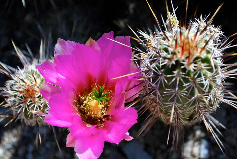 A variety of cactus bloomed during our April hikes in Saguaro National Park.