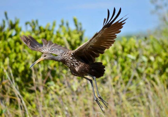 everglades-national-park-wildlife-limpkin