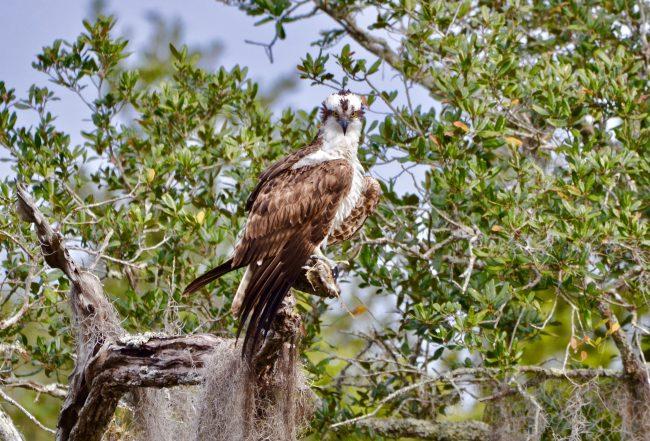 osprey florida wildlife