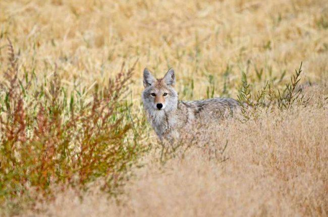 Coyote at Benton Lake National Wildlife Refuge, MT