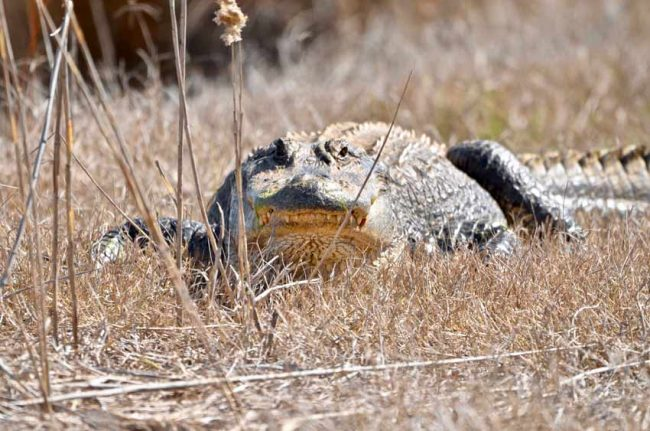 Alligator , Cape Romain National Wildlife Refuge, SC