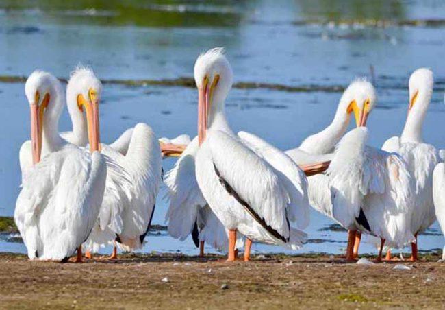 White Pelicans, Ding Darling National Wildlife Refuge, FL