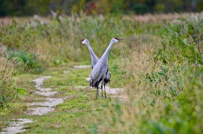 Sandhill Cranes at Horicon Marsh National Wildlife Refuge, WI