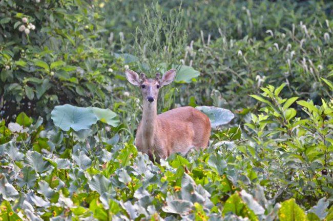 Deer, Pee Dee National Wildlife Refuge, NC