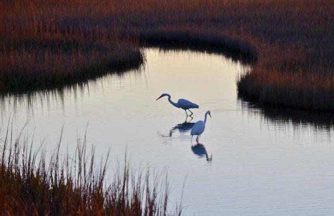 Great Egrets, Pinckney Island National Wildlife Refuge, SC