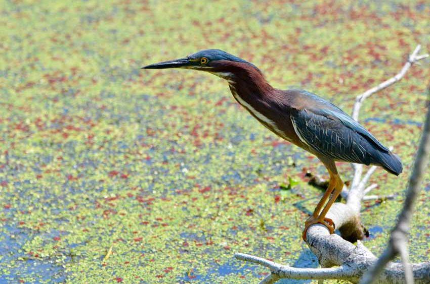 Green Heron, Pinckney Island National Wildlife Refuge, SC