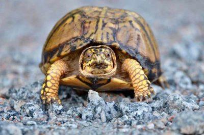 Box Turtle, Sandhills National Wildlife Refuge, SC