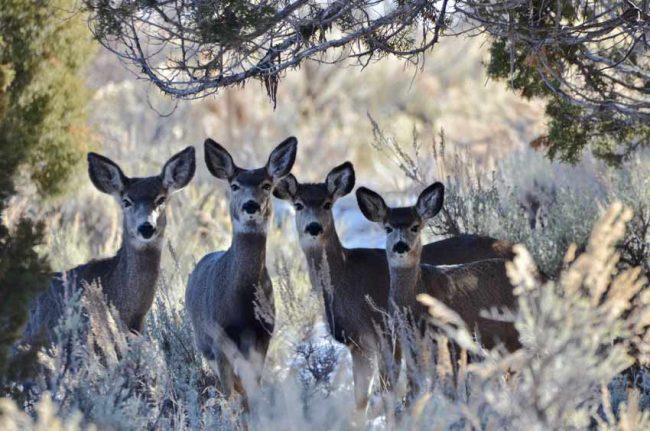 or mule deer photo in Coral Pink Sand Dunes Utah avoid crowds national parks