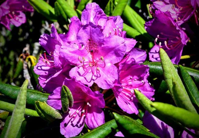 The world's largest natural rhododendron garden usually peaks in late June.