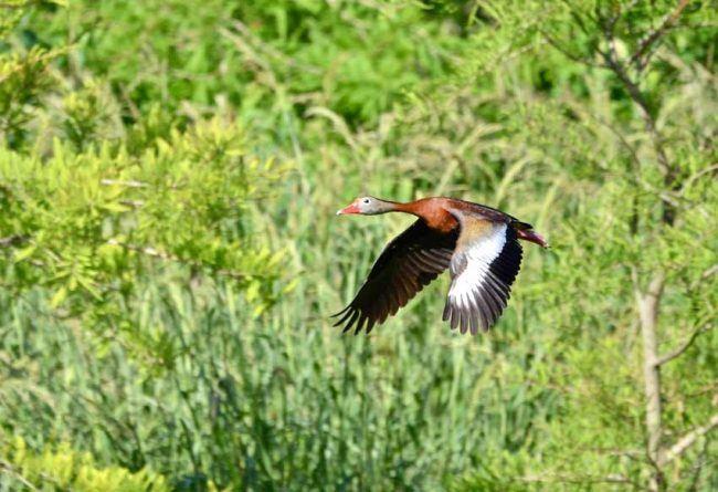 Black-bellied Whistling Duck Pinckney Island National Wildlife Refuge, SC