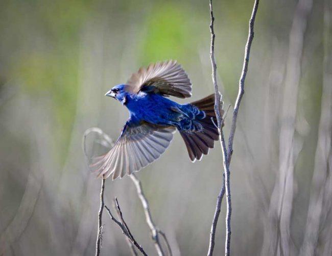 Blue Grosbeak, Pee Dee National Wildlife Refuge, NC