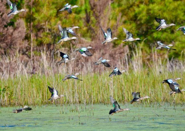 Blue-winged Teal, Pee Dee National Wildlife Refuge, NC