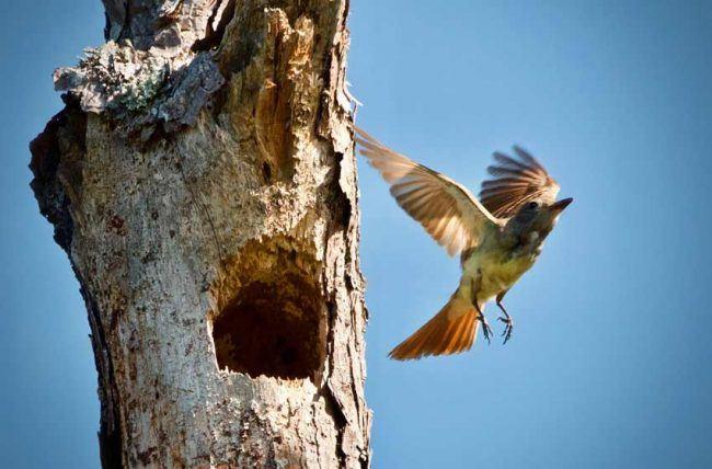 Great Crested Flycatcher, Sandhills National Wildlife Refuge, SC