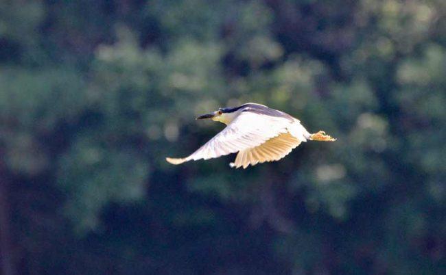 Night Heron, Pinckney Island National Wildlife Refuge, SC