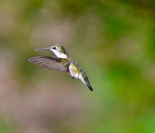 Ruby-throated Hummingbird, Charlotte, NC
