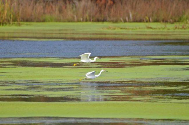 Snowy Egrets, Cape Romain National Wildlife, SC