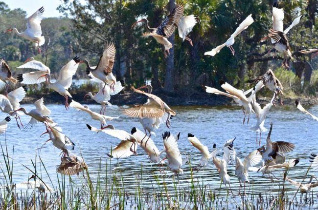 White Ibis, Cape Romain National Wildlife Refuge, SC