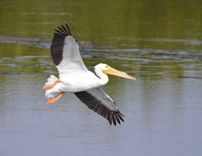 White Pelican Ding Darling, National Wildlife Refuge, FL