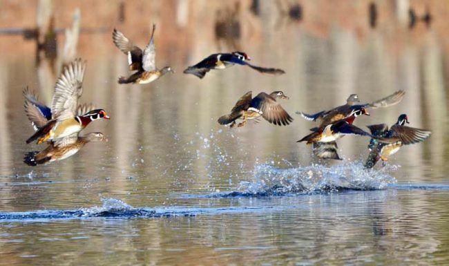Wood Ducks, Pee Dee National Wildlife Refuge, NC