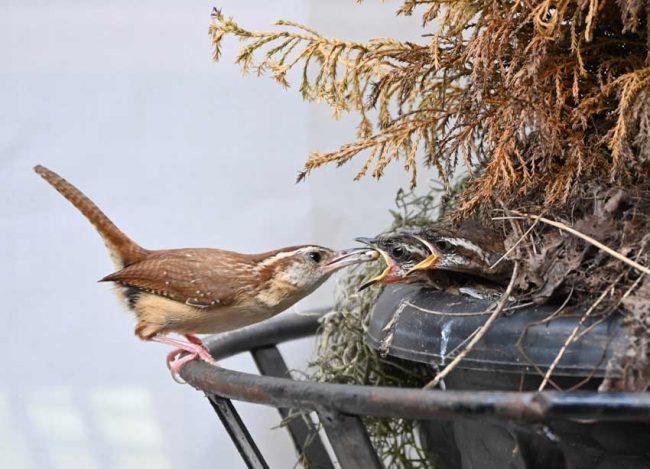 Baby birds carolina wren