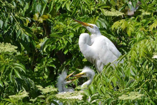 Baby birds great egret