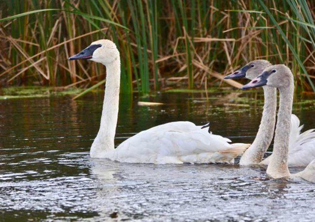 Baby birds trumpeter swan