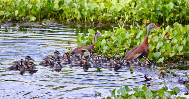 baby birds whistling ducks