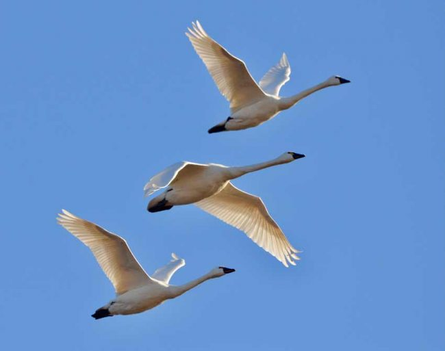 tundra swans north carolina