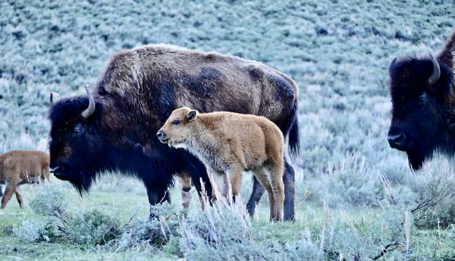Baby bison, called red dogs, romped over Yellowstone's Lamar Valley in May.
