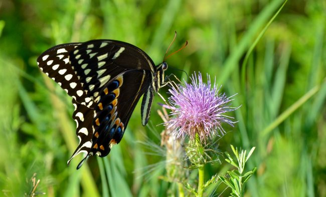 The Palamedes Swallowtail frequents Sandhills National Wildlife Refuge, SC.