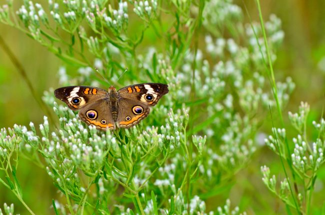 """The """"eyes"""" of this beautiful Buckeye butterfly distract and confuse predators."""