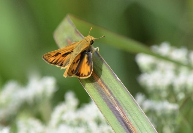 There's a small meadow right by the crowded parking lot at Crowder Mountain State Park, NC, where I love to look for cool insects like this Delaware Skipper.