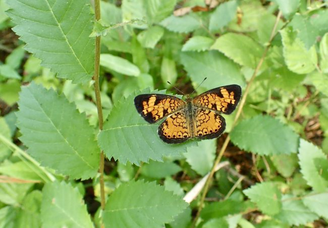 Butterflies have four wings, easily seen on this Pearl Crescent.
