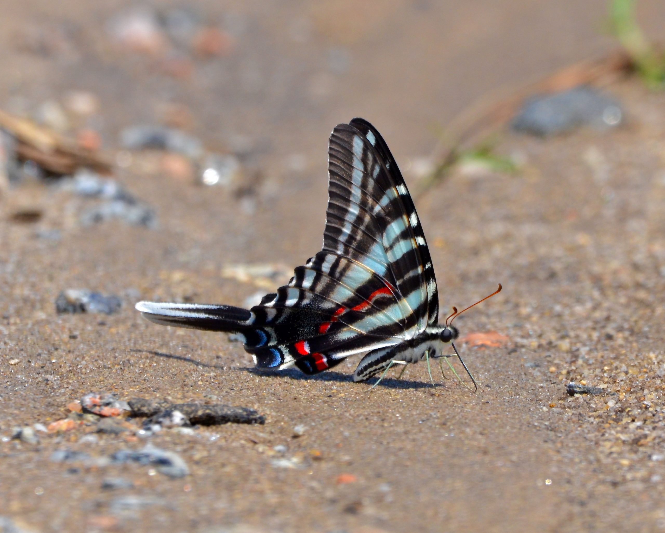 Zebra Swallowtail, at Pee Dee National Wildlife Refuge, NC