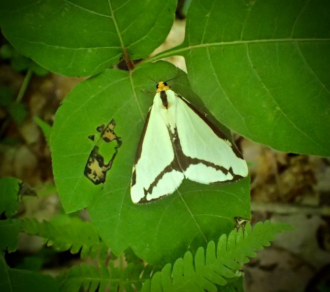 Some insect defenses include blending in, like this Clymene Halloa Moth.