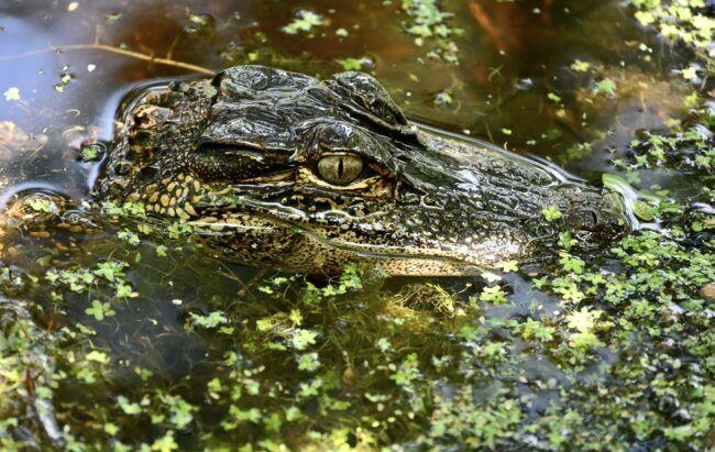 Alligators Cypress Gardens Charleston