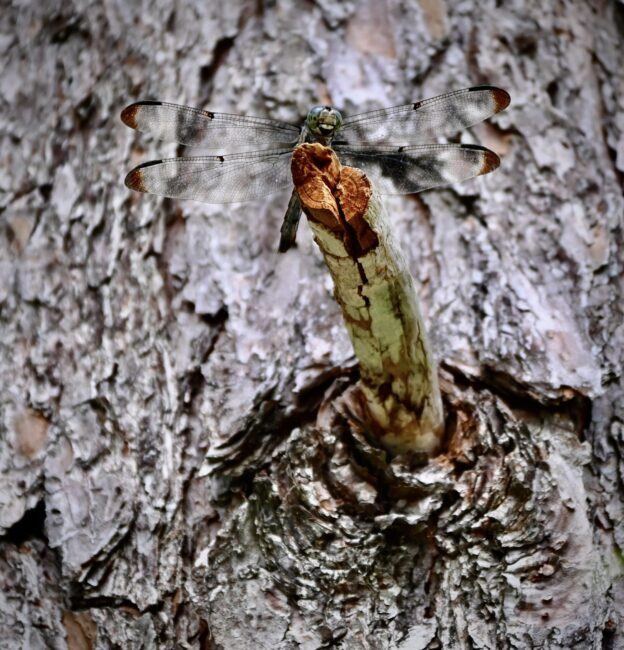 Charleston Cypress Garden dragonfly